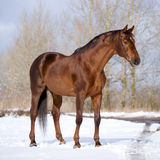 Chestnut horse standing in field. In winter Royalty Free Stock Images