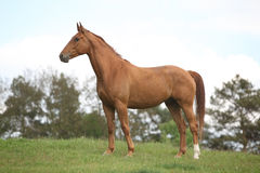 Chestnut horse standing on horizon Royalty Free Stock Photo