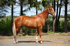 Chestnut horse standing near the forest Stock Image