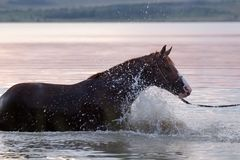 Chestnut horse standing in the water. Beautiful chestnut gelding standing in the sparks of water Royalty Free Stock Photography