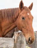 Chestnut horse with timber fence Stock Image