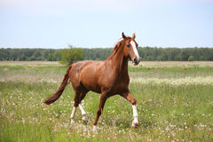 Chestnut horse trotting at the field Stock Image