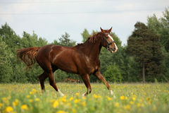 Chestnut horse trotting at the flower field Stock Image