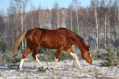 Chestnut horse trotting in the forest Stock Image