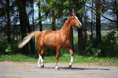 Chestnut horse trotting to the stable Royalty Free Stock Photo