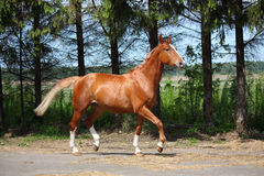 Chestnut horse trotting to the stable Stock Photo