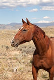 Chestnut Horse in the Valley Stock Photography