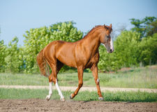 Chestnut horse Stock Images