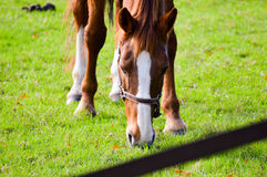 Chestnut horse with a white blaze. Grazing on lush green grass in a paddock or pasture, close up head shot frontal view Stock Image