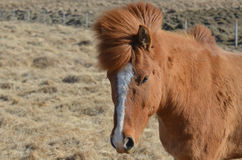 Chestnut Horse with a White Blaze on His Face Royalty Free Stock Images