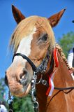 Chestnut horse with a winners rosette Royalty Free Stock Image