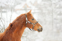 Chestnut horse and a winter landscape Royalty Free Stock Photo