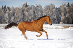 Chestnut horse in winter plays Royalty Free Stock Image