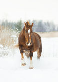 Chestnut horse in winter plays Royalty Free Stock Images