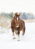 Chestnut horse in winter plays. The chestnut horse in winter plays royalty free stock images