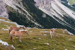 Chestnut horses above valley in Dolomites Royalty Free Stock Images