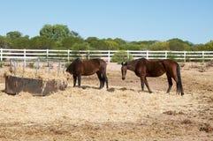 Chestnut Horses in Australian Farmland Stock Photo