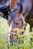 Chestnut Horses stock photography