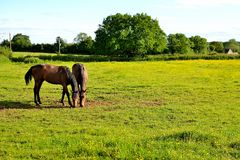 Chestnut horses Royalty Free Stock Images