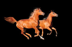 Chestnut horses on black Royalty Free Stock Images