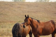 Chestnut horses at fenceline. Brown horse in pasture Royalty Free Stock Image