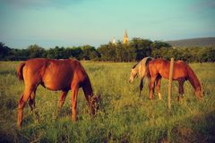 Chestnut horses graze on the meadow Stock Photos