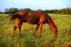 Chestnut horses graze on the meadow Stock Images