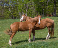 Chestnut horses in pasture Royalty Free Stock Photography