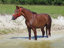 Chestnut horses standing in water Stock Photo