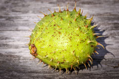 Chestnut in the hull Royalty Free Stock Photography