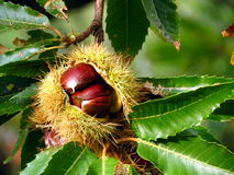 Chestnut in hush on tree Stock Image
