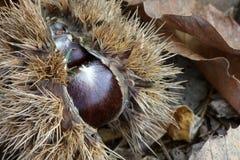 Chestnut husk Stock Image