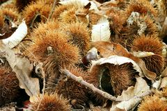 Chestnut husk Stock Photo