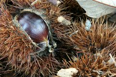 Chestnut husk - Closeup Royalty Free Stock Photo