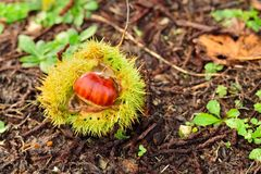 Chestnut and husk on the ground Stock Image