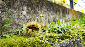 Chestnut husk on mossy wall Stock Photography