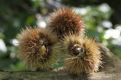 Chestnut husk on trunk stock images