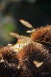 Chestnut husks royalty free stock image