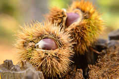 Chestnut at its maturity point Stock Image