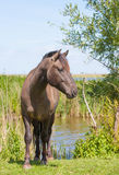 Chestnut Konik horse Stock Photo