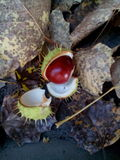 Chestnut. In laves stock photography
