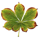 Chestnut leaf Royalty Free Stock Photos