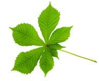 Chestnut leaf Stock Photos