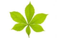 Chestnut leaf Stock Images
