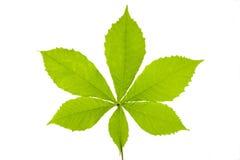 Free Chestnut Leaf Stock Images - 20196004