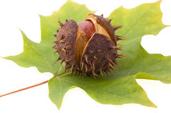 Chestnut and leaf Stock Photos