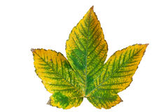Chestnut  leaf Royalty Free Stock Photography