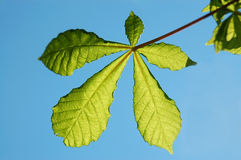 Chestnut leaf Stock Photography