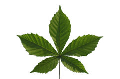 Chestnut Leaf Stock Image