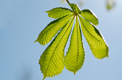 Chestnut leaf against the sky Royalty Free Stock Image